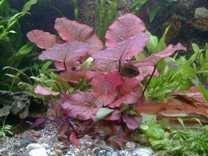 9-pots-aquatic-plants-5-types-tiger-lotus-fertilizer