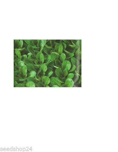 Feldsalat Vit Großpackung 100 g - für ca. 80 lfm, sehr ertragreich Mäuseöhrchensalat Mausohrsalat Nüsslisalat Rapunzelsalat