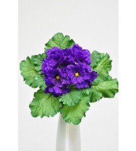 african-violet-bush-20cm-purple