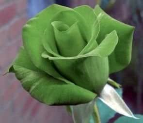 Exotic Plants Rose verde - Rosa verde - 10 semi