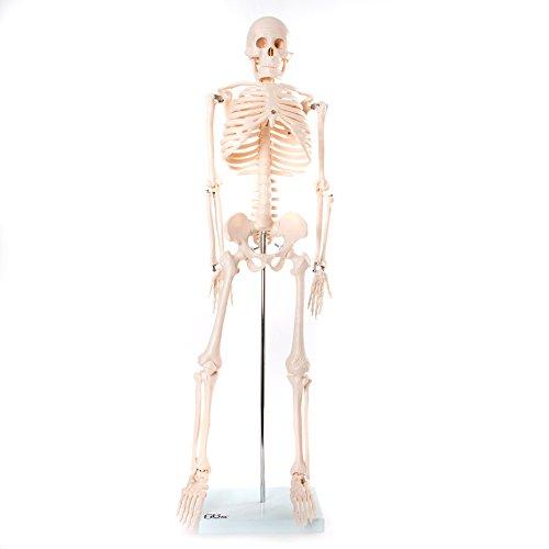 66fit-medium-skeleton-85cm-tall