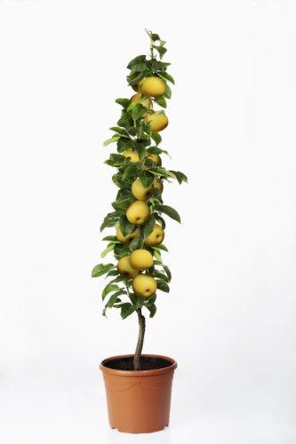 Nashi. Asiatische Säulen-Birne. 1 Pflanze - zu dem Artikel bekommen Sie gratis ein Paar Handschuhe für die Gartenarbeit dazu