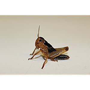 Heuschrecken Wanderheuschrecken subadult 10 Stück Dose Futterinsekten Reptilienfutter Futtertiere