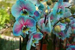Yukio Samenhaus - 100 Stück Chinesisch Cym. floribundum Cymbidium Phalaenopsis Orchidee Samen Bonsai-Blumensamen (Samen Pflanze, Blau, Orchidee,)