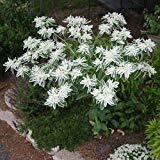 SANHOC Samen-Paket: Schnee auf TheFlower Seeds (Marginata) 30 + Seeds (60+) -