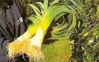 Verdure da Esibizione - Robinsons Mammuth Vaso Porro - 100 Semi