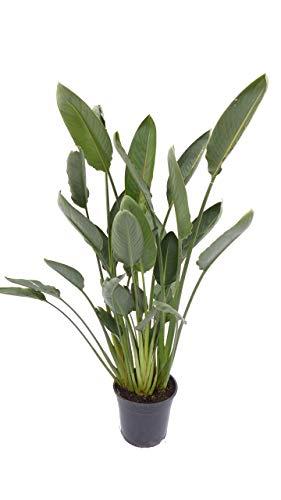 Strelitzia Strelitzie 'Reginae' 100-130 cm, Paradiesvogelblume Premiumqualität mit kräftigen Trieben