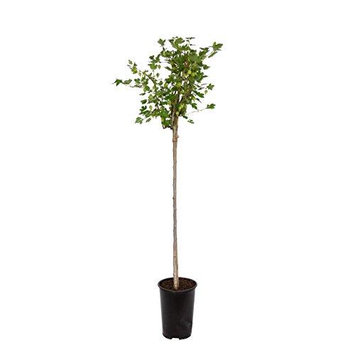 """Dominik Blumen und Pflanzen, Stachelbeere, Stachelbeer-Stamm """"Hinnonmäki gelb"""", 1 Pflanze, ca. 80 cm hoch, 2 Liter Container, plus 1 Paar Handschuhe gratis"""