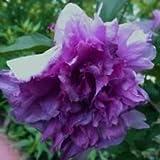 ibisco viola Syriacus Rosa di Sharon Hardy 10, 50, 100, 500, 1000 semi (1000)