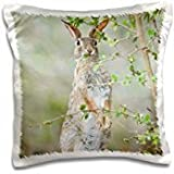 Rabbits - Texas, Rio Grande Valley, Desert Cottontail Rabbit - Rob Tilley - 16x16 inch Pillow Case