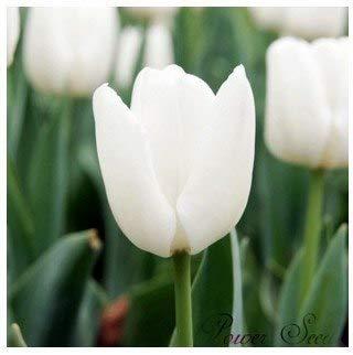 Bloom Green Co. Tulip Samen, schöne Tulpe Blumen, Topf Innen- und Außentopfpflanzen reinigen die Luft Mischfarben - 100pcs / bag: 13 -