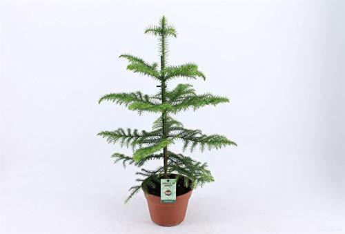 Zimmertanne (Araucaria heterophylla) tolle Zimmer und Büropflanze, (ca. 60cm hoch im 17cm Topf)