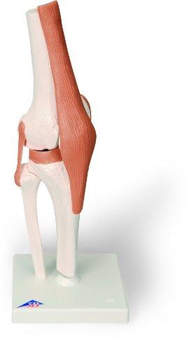 3b-scientific-a82-modelo-de-anatomia-humana-articulacion-de-la-rodilla-modelo-funcional