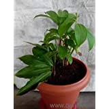 Intagro farms Insulin plant pot not included (polythene bag only)