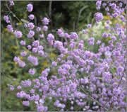 BM Plants Thalictrum delavayi 'Hewitt's Double' AGM , 3x9cm , Meadow rue , Perennial