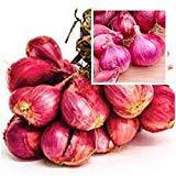 PLAT FIRM GERMINATIONSAMEN: Gemüse Shallot 20 Samen Kräuter & Gewürze aus Thailand