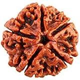 Original 5 Mukhi Rudraksha Brown Colour Lab Certified