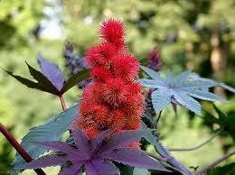 Der schmutzige Gardener Ricinus Communis Castor Bean Strauch - 25 Samen -
