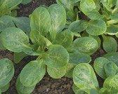 bobby-seeds-bio-salatsamen-feldsalat-vit-portion