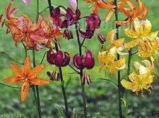 Lilium martagon 'Painted Ladies' 10 Samen, (Mischung) Türkenbundlilie, Türken Cap