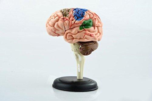 Edde Dental D4Puzle de cerebro humano de 32 piezas, para enseñar anatomía humana, uso médico