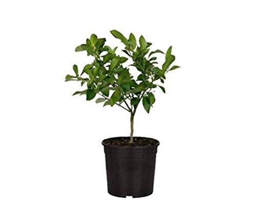 Pianta di Limone (mini alberello - vaso 16)