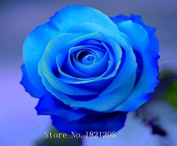 100PCS Fleur Rose Graine Hollande Amoureux des semences cadeau Orange Vert arc-en-RARE Couleur 24 Bricolage choisir le jardinage Fleur 12