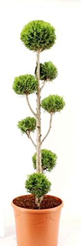 Gartenbonsai/PonPon, Höhe: 110-120 cm, Thuja occidentalis Yellow Ribbon inklusive Dünger