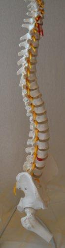 Zoom IMG-3 s24 3124 colonna vertebrale con