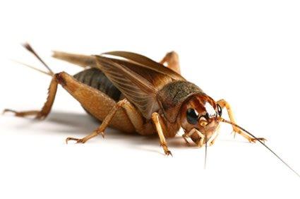 live-brown-silent-crickets-adult-25-30mm-bulk-bag-of-250