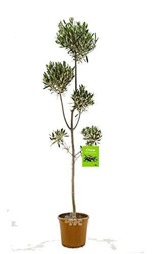 Pon Pon Olivenbaum 180-210 cm Olive winterhart Formschnitt Formgehölz - Banane Olivenöl