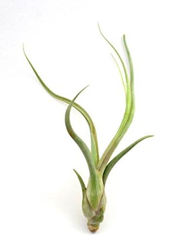 Sehr Seltene XXL Regenwald Tillandsien Tillandsia Baileyi 1x Pflanze aus Deutscher Nachzucht (Regenwald Pflanzen)