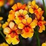 . Semi di Fiore: Semi Nemesia fioriera Mix Invernali siepe Giardino [Semi di Giardino domestiche Eco Confezione] Pianta Semi