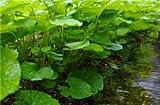Cuir Dor - 50 pcs Semillas Wasabi rábano picante vegetal japonés