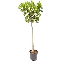"Feigenbaum 180 cm Feige winterhart, Ficus Carica, Obstbaum dunkle Frucht""Brown Turkey"" od. helle""Gota de Miel"""