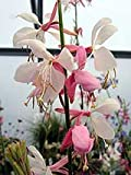 Gaura 'My Melody'