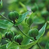 Plant World Seeds - Euphorbia Lathyris Seeds