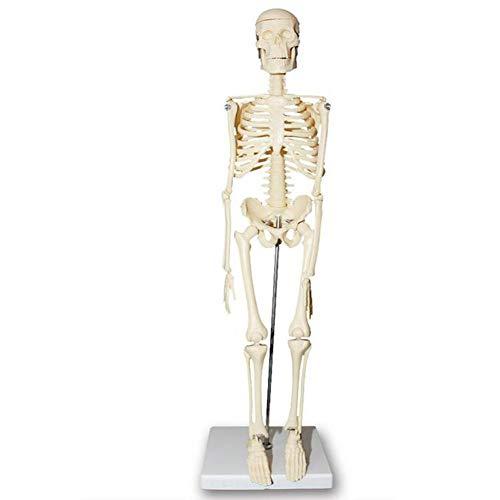 JL Mini-Modell Menschlichen Skelett Abnehmbare Arme Und Beine mit Metallständer 1/4 Lebensgröße, 45CM Enthält EIN Detailliertes Produkthandbuch Zum Lernen Und Nachschlagen