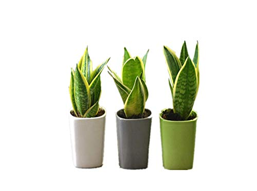 KINGDUO Egrow 400 Pcs Jardin Bonsai Sansevieria Graines 100% Véritable Bio Floraison Fleur Plante Graine-1