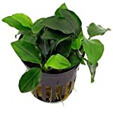 Best Nana - Premier Plants Anubias Nana Amaze Aqua Aquarium Live Review
