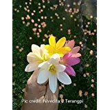 #8: Rain lily mixed 10 bulbs (mix of five varieties, Dark pink, Light Pink, Yellow, White & Apricot)
