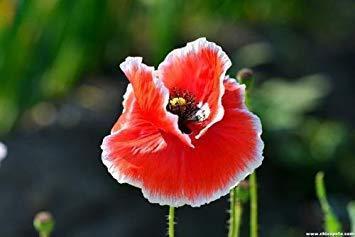 vegherb Mix: 100 Stück/Beutel Bule Klatschmohn Seeds.Rare Red Flap Papaver Rhoeas Blumentopf Samen für Garten Plant.Field Flanders Poppy Semillas -