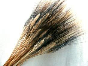 Espigas de Trigo Naturales Secas con Pelos (150 espigas) PORTES GRATIS