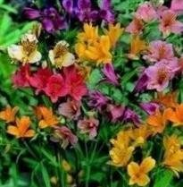 kings-seeds-alstroemeria-ligtu-hybrids-20-seeds