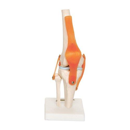 66FIT - Modello anatomico articolazioni Ginocchio
