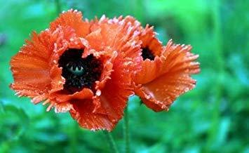 vegherb 9: 100 Stück/Beutel Bule Klatschmohn Seeds.Rare Red Flap Papaver Rhoeas Blumentopf Samen für Garten Plant.Field Flanders Poppy Semillas. 9 -