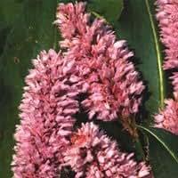 Polygonum Bistorta 'Superba' Seeds