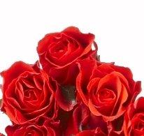 """Rosenpaket """"40 rote Rosen"""" - 40 cm, ohne Bindegrün von florito - Du und dein Garten"""