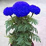 Agrey Lifestyle Blue Marigold Flower Seed-50 Seeds