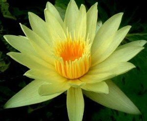 Nymphaea eldorado - Nénuphar jaune - Lotus jaune - 10 graines